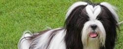 Shih tzu - międzynarodowa wystawa psów rasowych