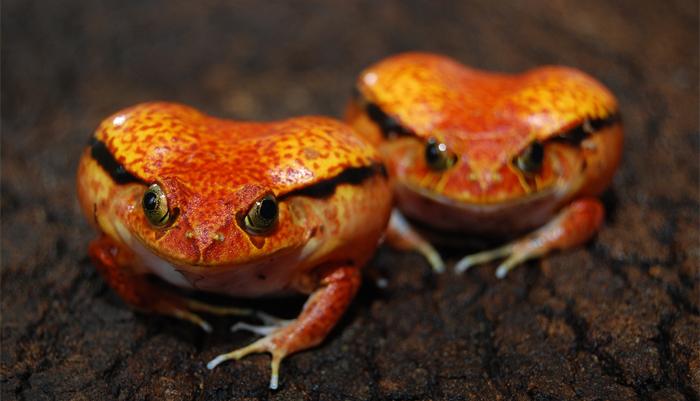 Walentynkowe żabki we Wrocławskim ZOO